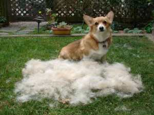 Not my dog. Haven't brushed them yet, remember. This pic is pretty much why.