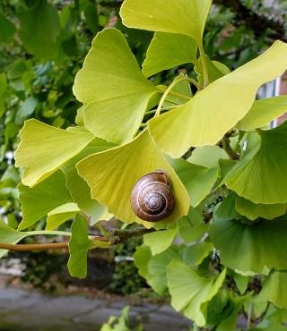snailonginko